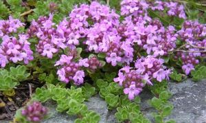Thymus praecox serpyllum (Red Flowering Mother of Thyme)