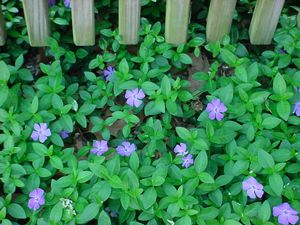 Vinca minor (Creeping Myrtle)