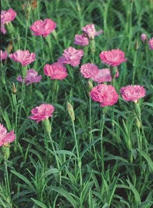 Dianthus x Mountain Frost (Garden Pinks)