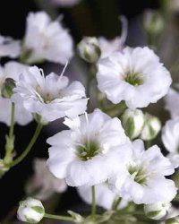 Gypsophila repens (Creeping Baby's Breath)
