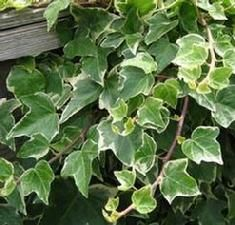Hedera helix (Mint Kolibri English Ivy)