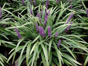 List Of Synonyms And Antonyms Of The Word Liriope Variegata