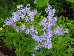 Phlox divaricata (London Grove Blue Phlox)
