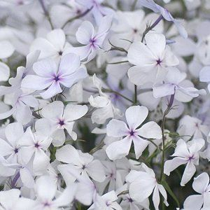 Phlox divaricata (May Breeze Phlox)