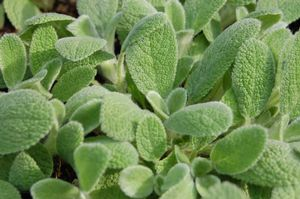 Stachys (Dwarf Lamb's Ear)