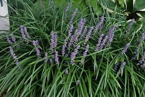 Liriope Muscari Big Blue Lilyturf From Treadwell Plants