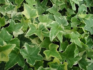 Hedera helix (Variegated Ivy)